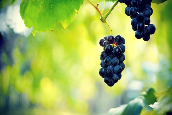 Uvas negras madurando en la vid