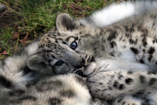 Un precioso cachorro de leopardo de las nieves