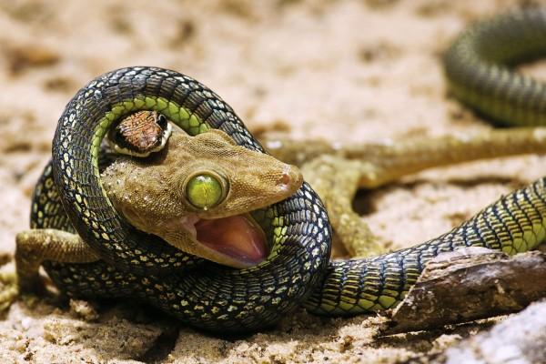 Serpiente comiéndose a un lagarto