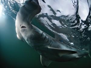 Tiburón martillo junto a la superficie
