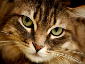 La cara de un precioso gato