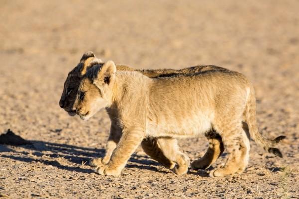 Dos cachorros de león caminando juntos