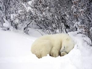 Un pequeño osos polar dormido sobre la nieve