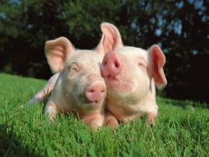 Postal: Dos simpáticos cerdos sobre la hierba
