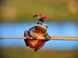 Mariquita sobre la cabeza de una rana