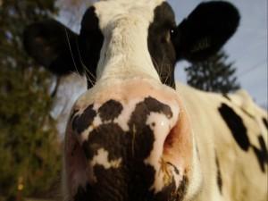 Vaca lechera mostrando su nariz