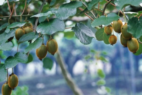 Kiwis madurando en la planta
