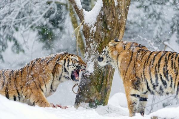 Dos tigres enfrentados en la nieve