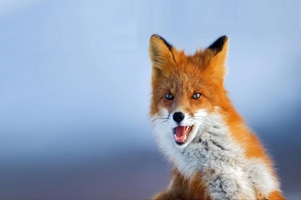 Un zorro con la boca abierta