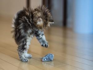 Gatito jugando con un ratón