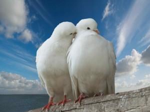 Postal: Dos palomas blancas
