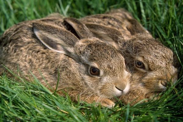 Dos conejos agazapados en la hierba
