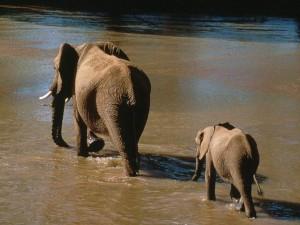 Un pequeño elefante siguiendo a mamá