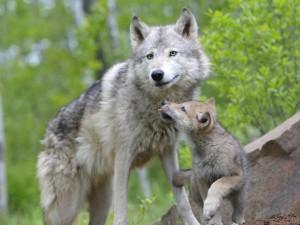 Postal: Una loba y su cachorro
