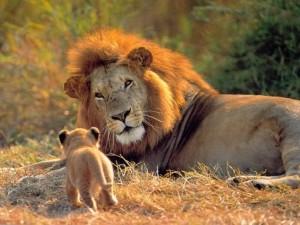 Pequeño cachorro acercándose a un gran león
