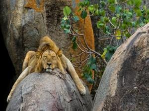 León dormido sobre la roca