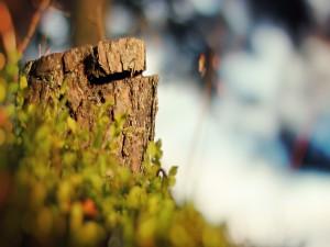 Postal: El tronco de un árbol cortado