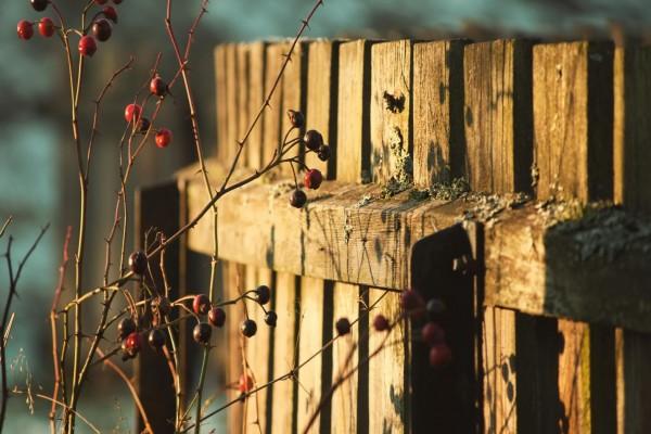 Una planta con espinas y frutos junto a una valla de madera