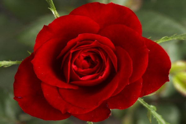 Una rosa roja con hermosos pétalos