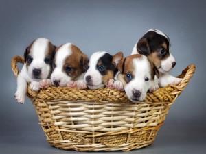 Postal: Cachorros en una cesta