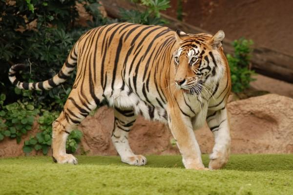 Hermoso tigre sobre la hierba