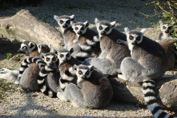 Grupo de lémures