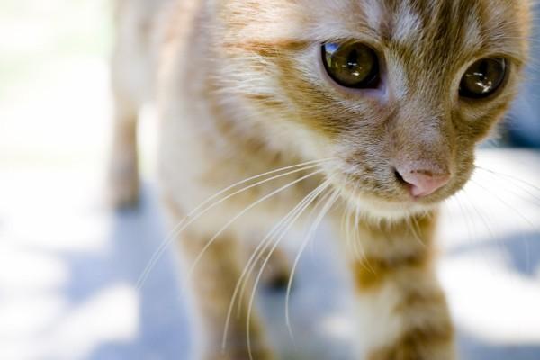 Los grandes ojos de un gato