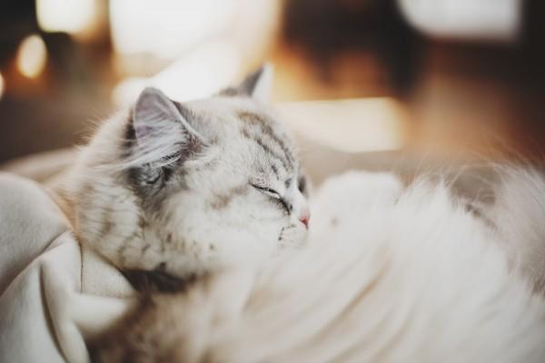 Un gato blanco dormido