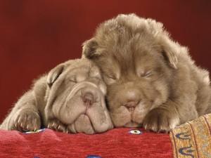 Postal: Perros durmiendo juntos