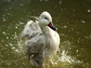 Postal: Pato saliendo del agua
