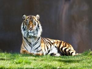 Postal: Un joven tigre sobre la hierba