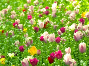 Maravilloso campo con tulipanes de colores