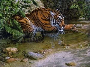 Postal: Tigre junto al agua