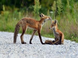 Postal: Dos zorros sobre las piedras