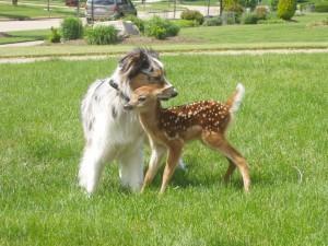 Perro protegiendo a un cervatillo