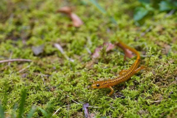 Una salamandra sobre la hierba