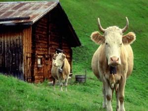 Dos vacas junto a una cabaña