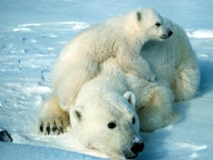 Cachorro de oso polar sobre su madre