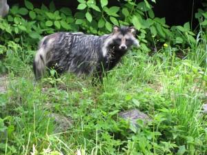 Perro mapache (Nyctereutes procyonoides)