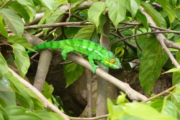 Un bonito camaleón caminando por una rama
