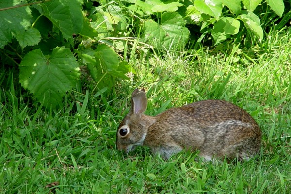 Conejo comiendo hierba