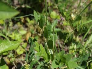 Postal: Plantas silvestres de hoja verde