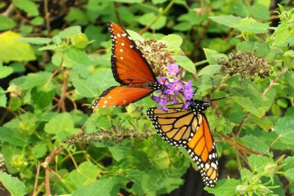 Dos mariposas de diferente especie posadas sobre las mismas flores
