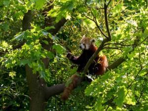 Postal: Panda rojo en un árbol