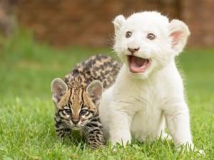 Postal: Cachorro de león blanco junto a otro felino