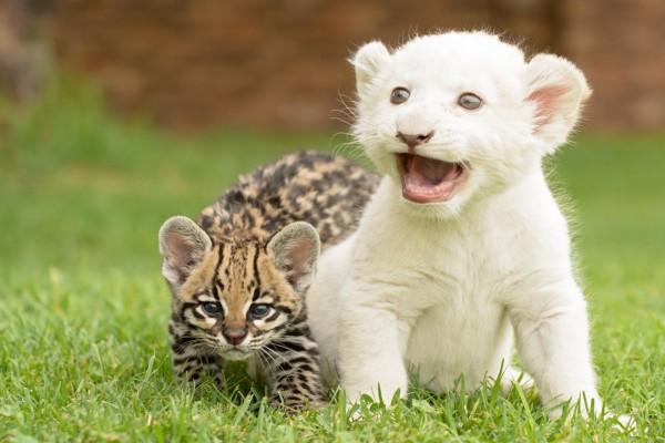 Cachorro de león blanco junto a otro felino