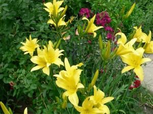 Postal: Liliums amarillos en un jardín