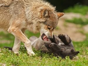 Postal: Lobos peleando