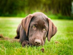 Cachorro marrón con mirada triste