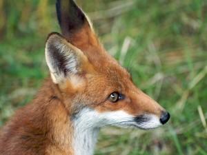 Perfil de un zorro